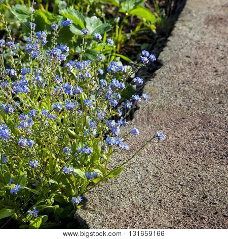 Beautiful blue Forget-me-nots in flower growing on path border.