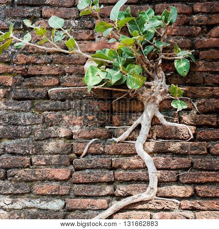 Square shoot of a tree growing on a brick wall