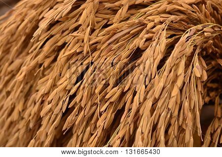 Close up of paddy background in farm
