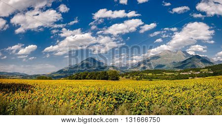 Sunflower field, French Alps, Summer clouds and blue sky in Isere, France. Panoramic view includes Saint-Pierre-de-Mearoz village and the Tabor mountain