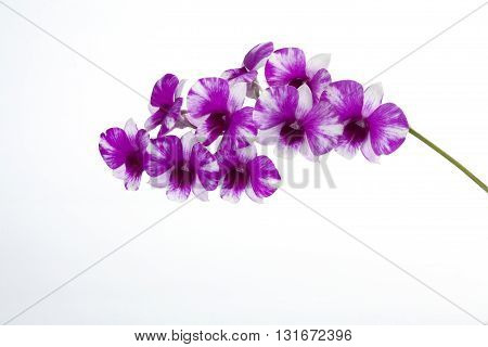 The purple orchid on a white background