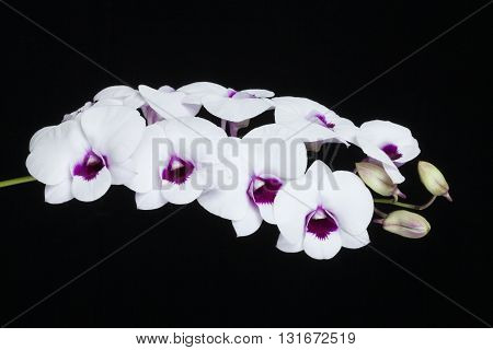 Orchid flowers white circle with a black background.