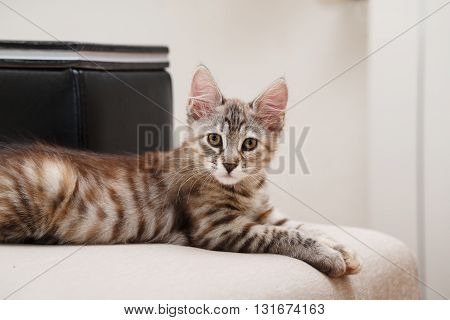 Kuril Bobtail gray kitten looking into the camera. Thoroughbred cat. Cute and funny kitten. Pet.