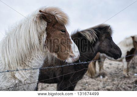 Iceland Ponies Behind Fence, Iceland