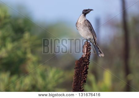 Noisy friarbird (Philemon corniculatus), a species of Australian honeyeater, perched on a grass tree flower spike.
