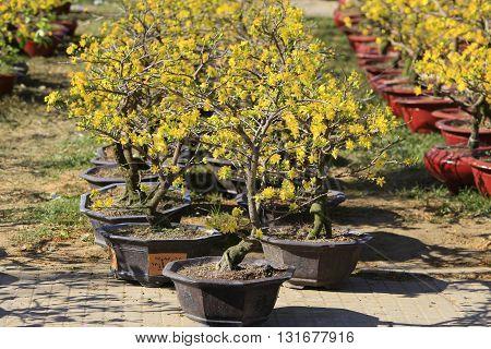 Hoa Mai tree (Ochna Integerrima) flower, traditional lunar new year in Vietnam