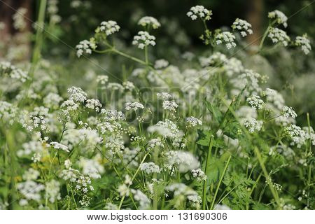 Anthriscus sylvestris (wild chervil, cow parsley,  keck, cow parsley)