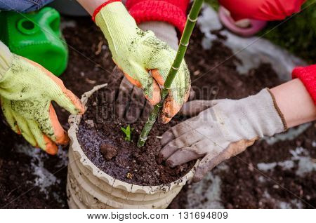 transplant flowers plant in spring, garden , hand