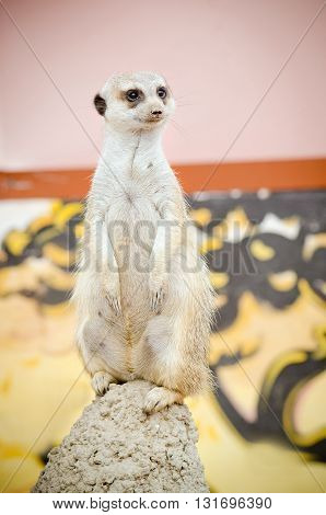 meerkat stands on a hill, examines the teritory