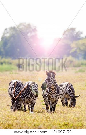 Herd of wild African zebra at sunrise