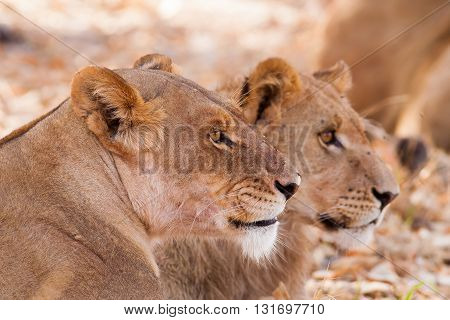Wild African Lion cub and mother staring into the diustance