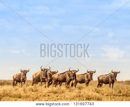 Herd of Wildebeest in the Serengeti national park