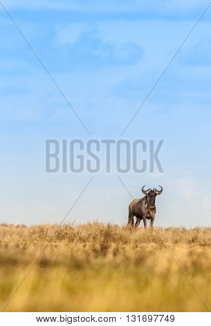 Lone wildebeest in the wild Serengeti national park