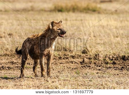 Wild African Hyena in the serengeti national park