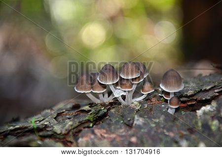 Fairy ink cap fungi (Coprinellus) growing on a rotting tree stump