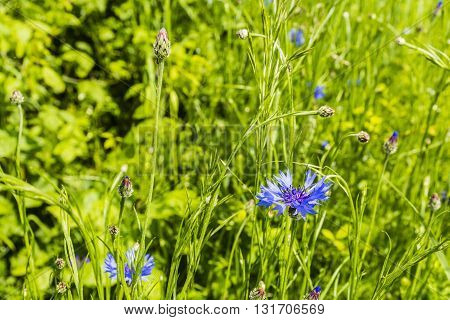 Cornflower (centaurea Cyanus) In The Green Spring Meadow.
