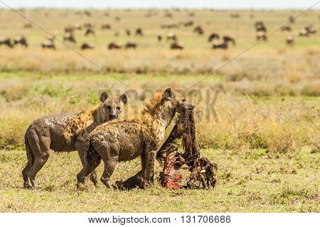 Wild African Hyenas with a kill in the serengeti