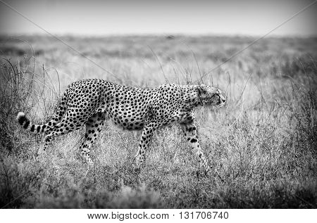 Wild African Cheetah in Black and White