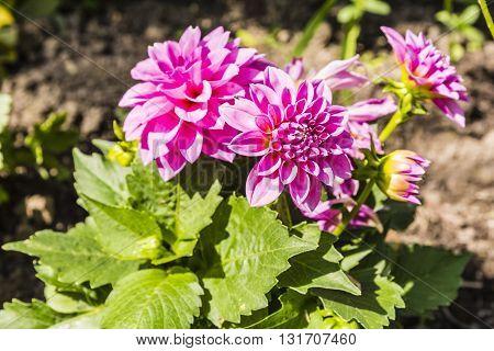 Dahlia Decorative Flower.