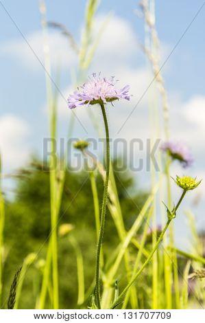 Knautia Arvensis - Weed.