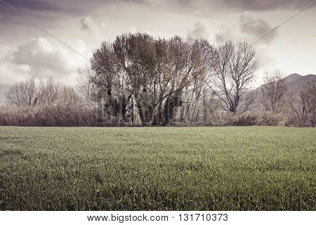 Isolated trees in a wheatfield before a rainstorm - (Tuscany - Italy) toned image