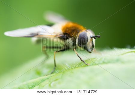 Leucozona lucorum hoverfly. Striking insect in the family Syrphidae showing detail of compound eyes