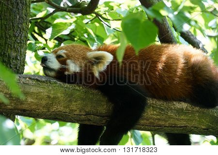sleeping red panda on a tree trunk