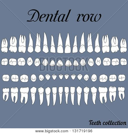 anatomically correct teeth - incisor cuspid premolar molar upper and lower jaw front and top views in vector on white
