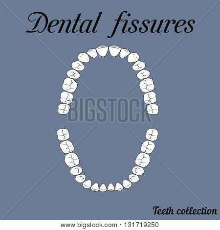 Dental fissures upper and lower jaw the chewing surface of teeth incisor canine premolar bikus molar wisdom tooth in vector for print or design