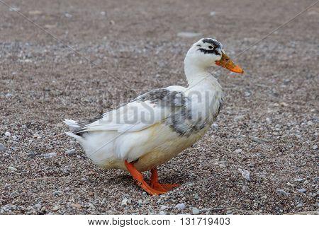 Wild duck walking on a sandy beach