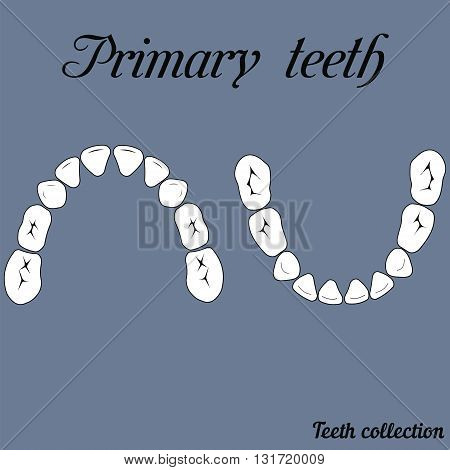 Primary teeth Chewing surface - crown and root the number of teeth upper and lower jaw done in vector are easy to edit for print or design