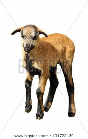 brown goat kid isolated over white background