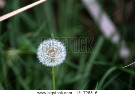 whitehead of a dandelion flower against blurred background
