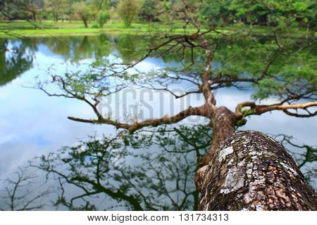 The tree lay on the lake at taiping malaysia