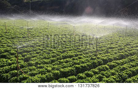 irrigation of vegetables in Dalat, viet nam