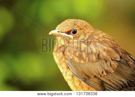 Closeup portrait of young brown Thrush bird (Turdus philomelos). Thrush bird. Young Thrush. Thrush in garden. Portrait of thrush. Brown thrush.