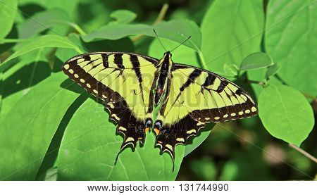 Large beautiful swallowtail butterfly with wings spread