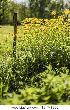 Meadow at the village in sunny day with a wooden picket fences and yellow flowers with a green grass and a forest in background
