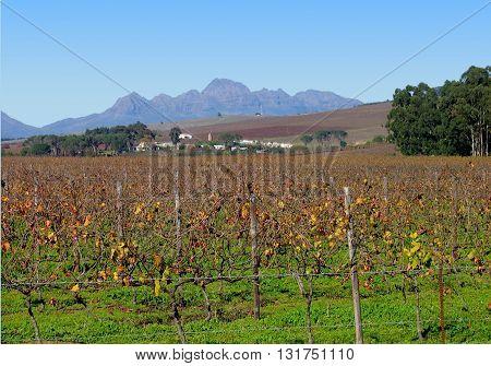 Grape Farm,  Stellenbosch Cape Town South Africa 07