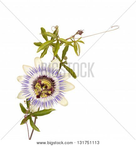 Single bloom of the blue passionflower (Passiflora caerulea) with leaves stem and tendrils isolated against a white background