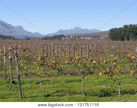 Grape Farm, Stellenbosch Cape Town South Africa 05