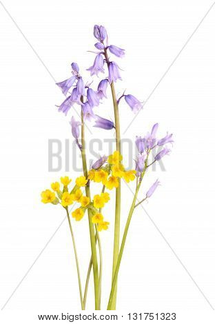 Blue flowers of Spanish bluebells (Hyacinthoides non-scripta) and yellow cowslips (Primula veris) isolated against a white background