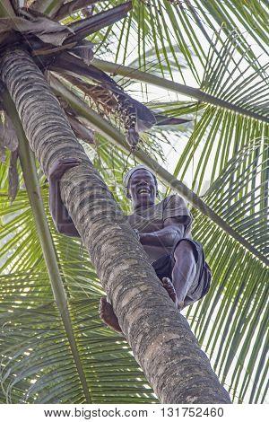 ZANZIBAR TANZANIA - JUNE 18: a man climbs a coconut palm tree to gather the ripe coconuts on June 18 2013 in Zanzibar