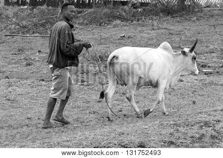 Tanzanian Man Leading A Cow On A Leash