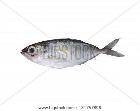 Fresh Indian mackerel isolated on white background.
