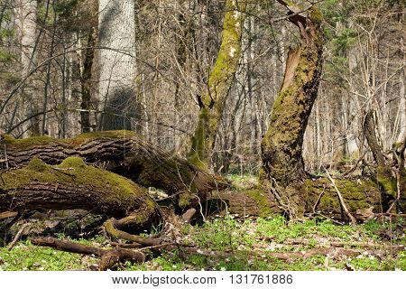 Deciduous stand of Bialowieza Forest in spring with oak logs moss wrapped lying, Bialowieza Forest, Poland, Europe