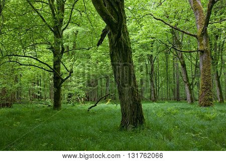 Shady deciduous stand of Bialowieza Forest in springtime with fresh green grassy bottom and old trees, Bialowieza Forest, Poland ,Europe