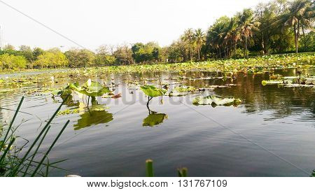 waters of the backwater sloughs along with white water lily, American lotus