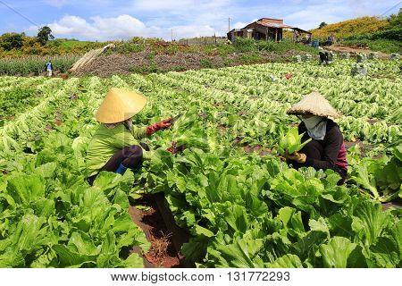 Dalat, Vietnam - June 2, 2016: Farmer harvesting mustard green in growth at vegetable garden in Vietnam