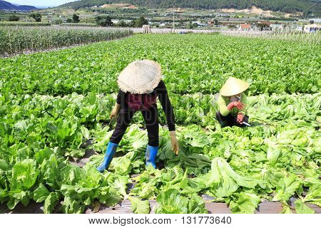 Dalat, Vietnam - June 2, 2016: Farmer harvesting mustard green in growth at vegetable garden in Vietnam